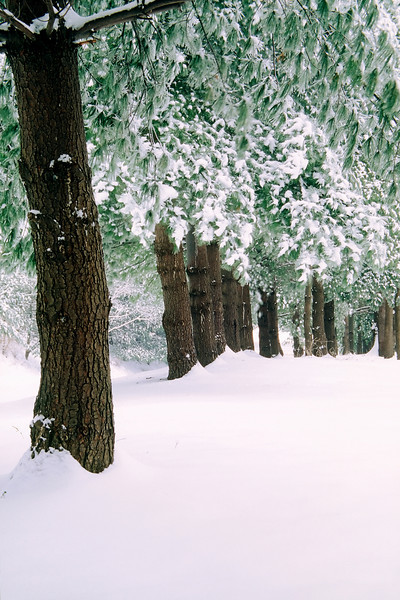 A LINE OF SNOW COVERED PINES