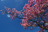 DOGWOOD BLOSSOMS<br /> IMAGE 1690