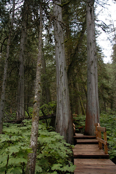 Giant Cedars Trail boardwalk<br /> Mt. Revelstoke National Park, BC