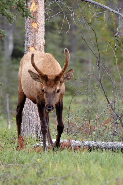 wapiti bull<br /> Maligne Canyon, Jasper National Park