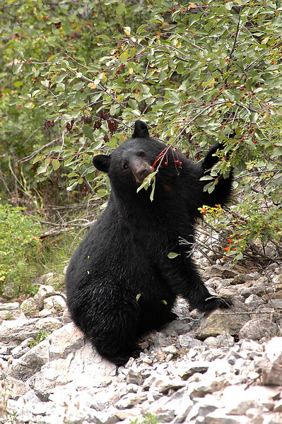 bear munching on branch near Lussier River<br /> Whiteswan Provincial Park