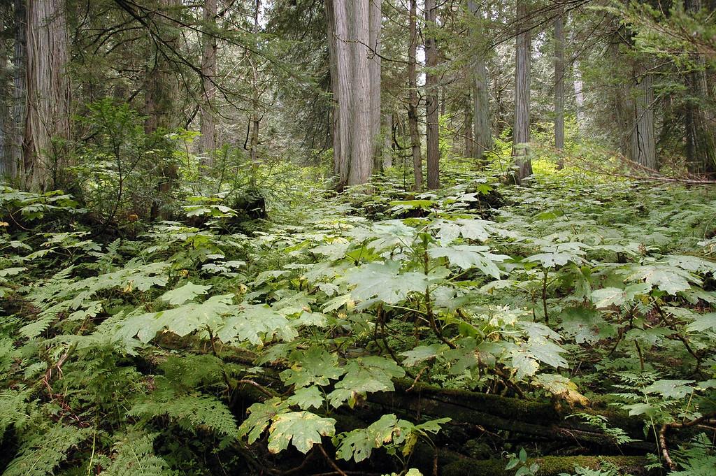 Giant Cedars Trail<br /> Mt. Revelstoke National Park, BC