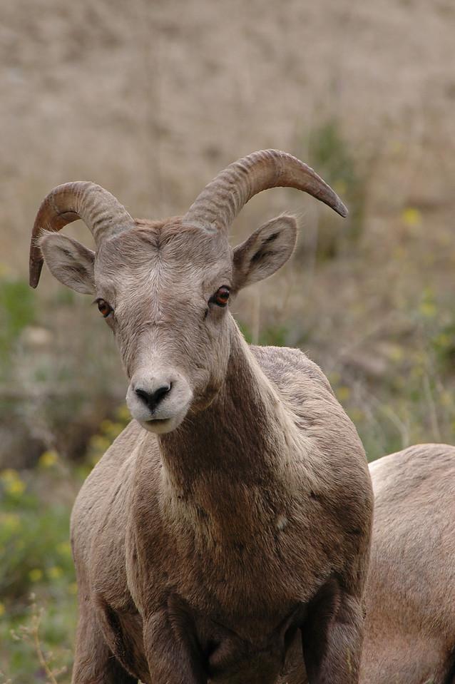 bighorn sheep - Radium Hot Springs