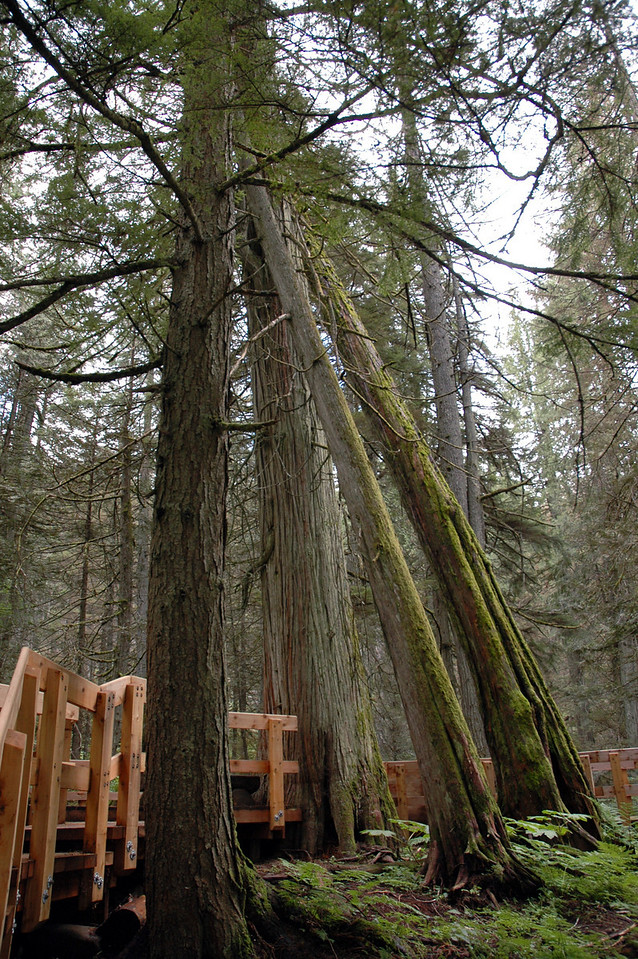 Leaning Tower of Trees<br /> Giant Cedar Trail boardwalk<br /> Mt. Revelstoke National Park, BC