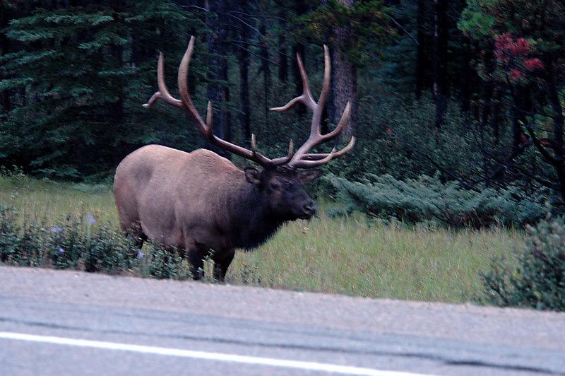 wapiti, Icefields Parkway<br /> Jasper National Park