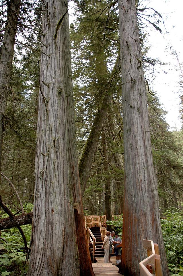 boardwalk through giant cedars<br /> Mt. Revelstoke National Park, BC