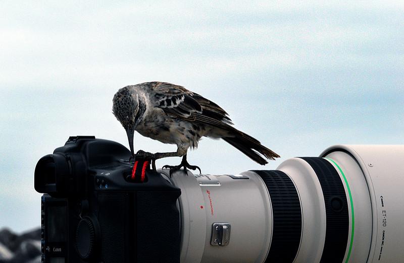 Hood Mockingbird adjusting the strap on Ashwini's camera-Punta Suarez-Espanola 12-16-2007