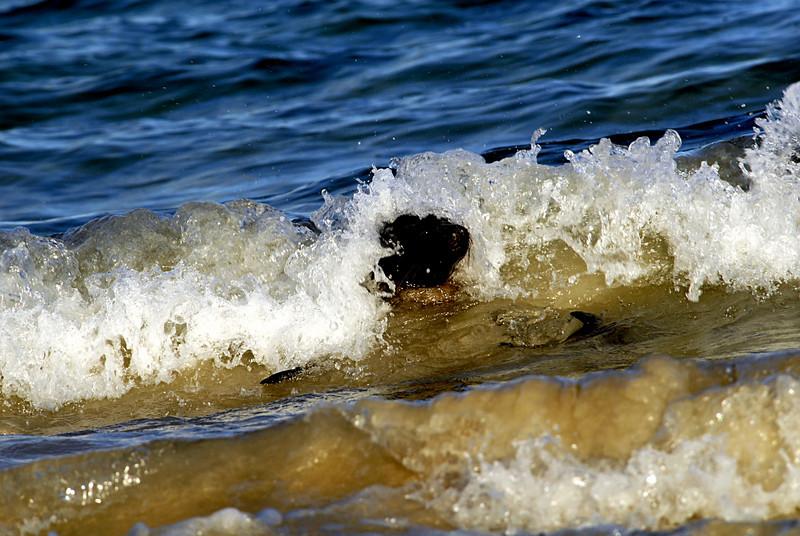 sea lion surfing into shorePunta Cormorant-Floreana Island 12-17-2007