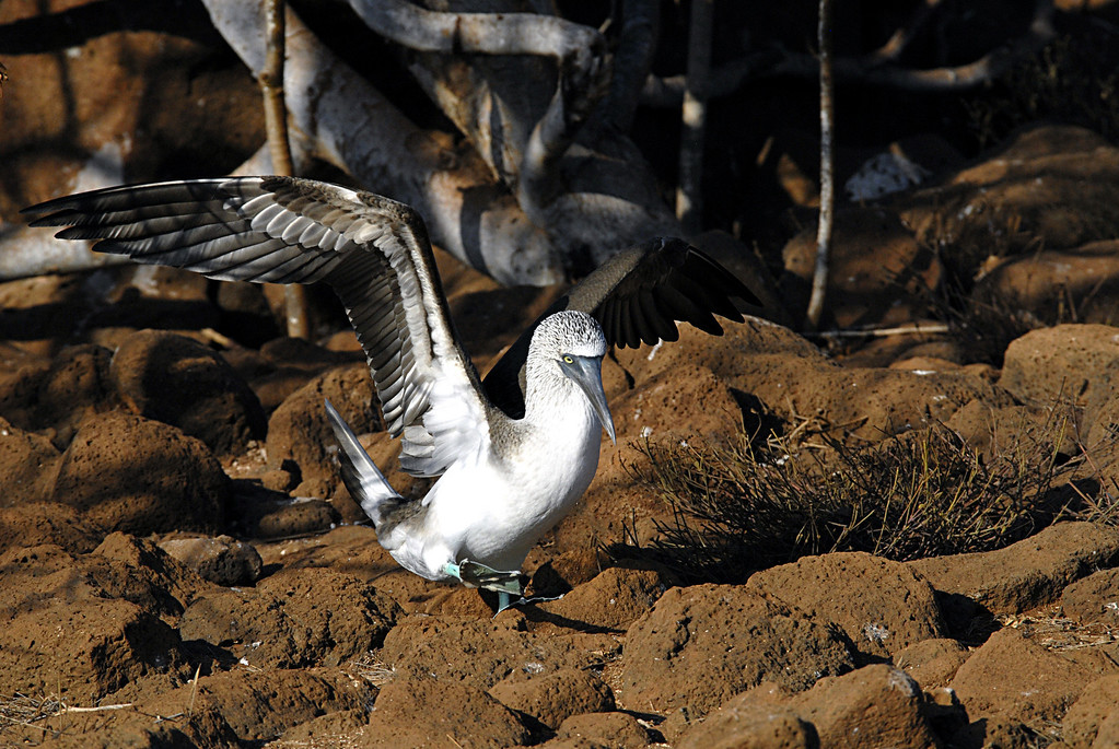 blue-footed booby, balanced-N  Seymour Island-Galapagos 12-15-2007