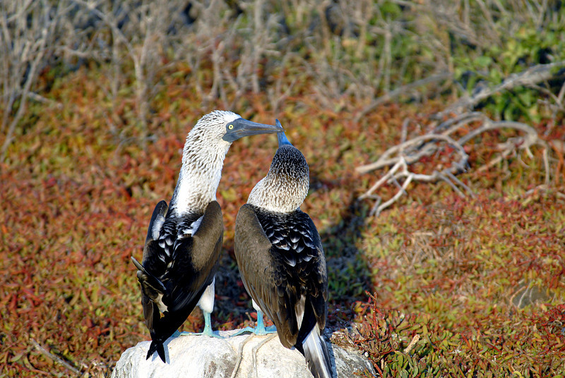 blue-footed booby couple, beak to beak-N  Seymour-Galapagos Islands 12-15-2007