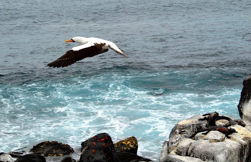 Nazca Booby takes flight from Punta Suarez-Espanola Island-Galapagos 12-16-2007