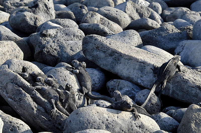 marine iguana pile-up<br /> N Seymour Island-Galapagos 12-15-2007