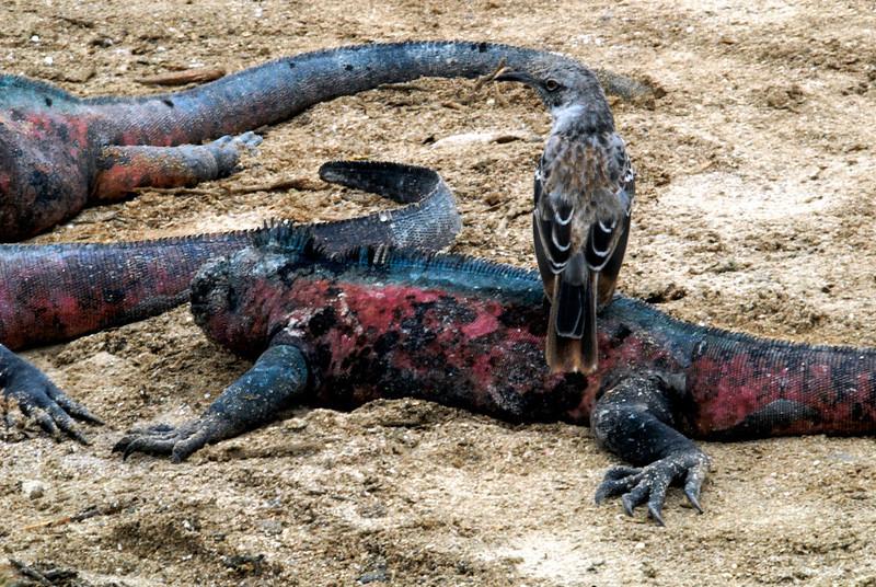 mockingbird worms his way into marine iguana society-Punta Suarez-Espanola Island-Galapagos 12-16-2007