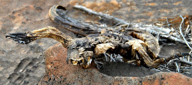 sun-dried marine iguana carcass-Punta Suarez trail-Espanola Island 12-16-2007