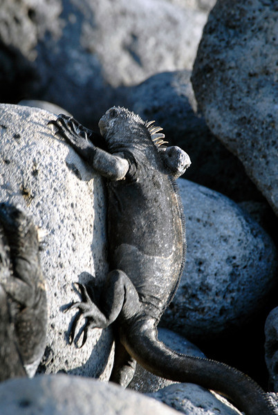 ascension-marine iguana on N  Seymour Island-Galapagos 12-15-2007