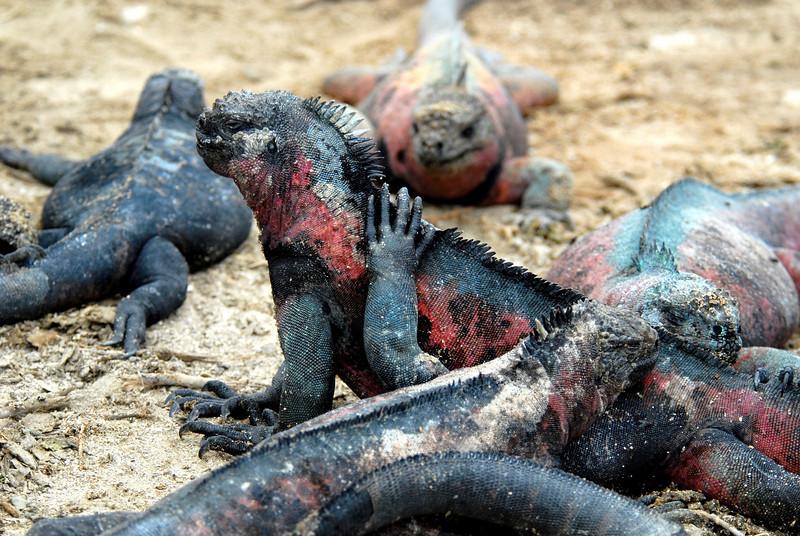 marine iguana massage-Punta Suarez-Espanola-Galapagos Islands 12-16-2007