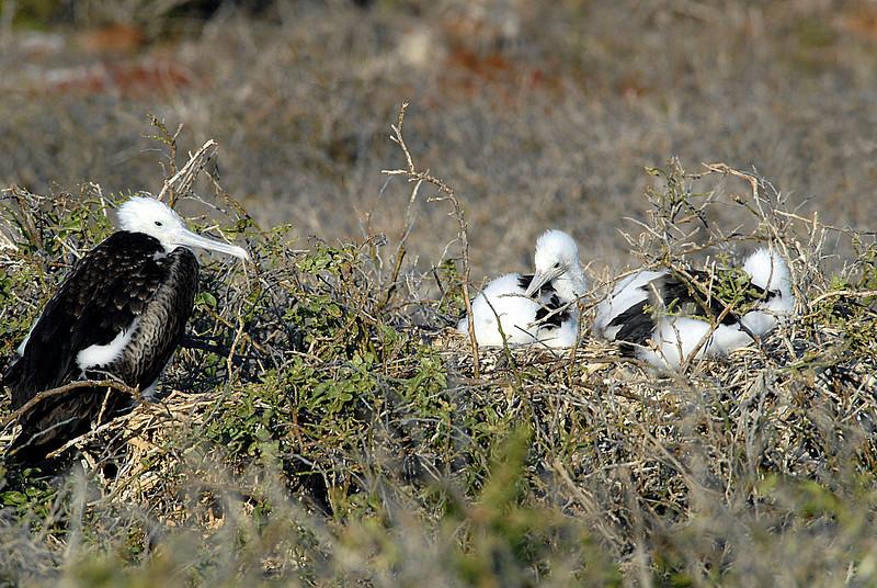 juvenile frigatebird & chicks-N  Seymour Island-Galapagos 12-15-2007