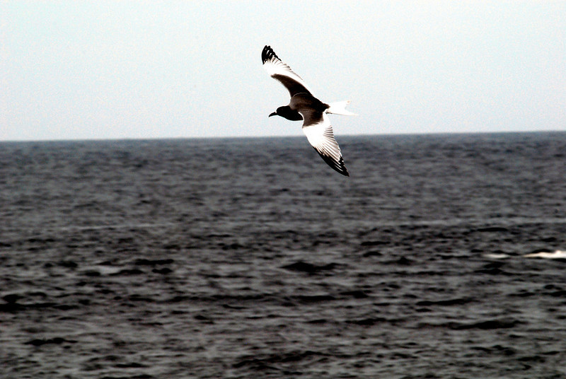 swallow-tailed gull in flight over the Pacific, near Espanola Island 12-16-2007