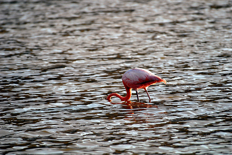 flamingo loses his head in lagoon-Floreana Island-Galapagos 12-17-2007