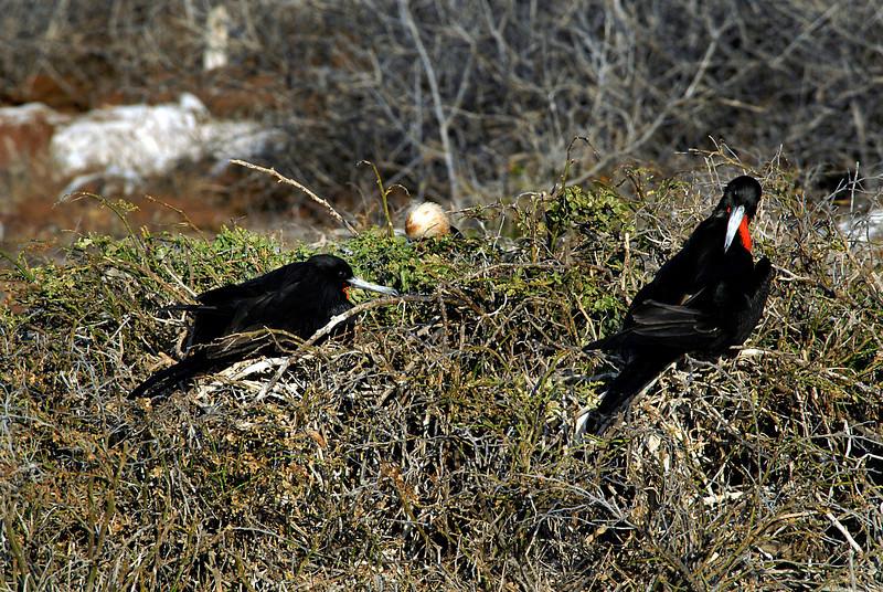 magnificent frigatebird pair-N  Seymour island-Glapagos 12-15-2007