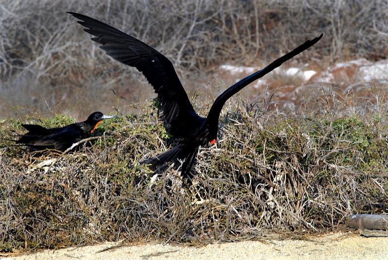 Magnificent Frigatebird flying in to begin his courtship ritual-N  Seymour Island-Galapagos 12-15-2007