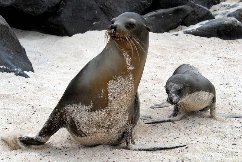 sea lion shuffle on Punta Suarez beach-Espanola Island 12-16-2007