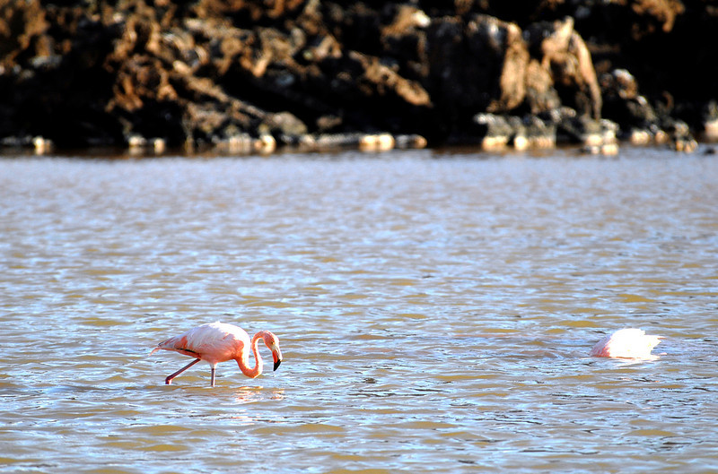 flamingos wading & bobbing-Punta Cormorant lagoon-Floreana Island-Galapagos 12-17-2007