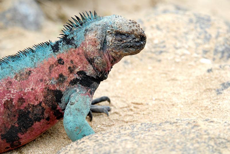 marina iguana profile-Punta Suarez-Espanola Island, Galapagos 12-16-2007