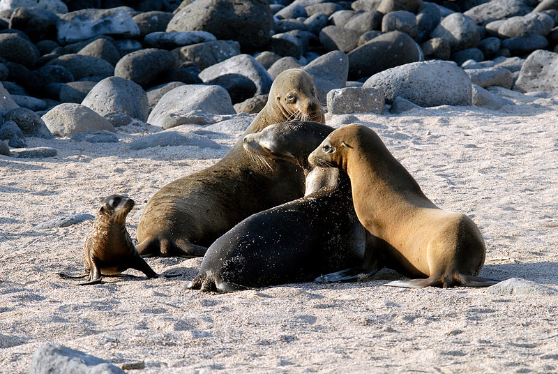 sea lion generations-N  Seymour Island-Galapagos 12-15-2007