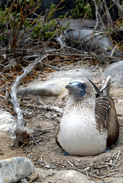 blue-footed bobby mama incubating her egg-Punta Suarez-Espanola 12-16-2007