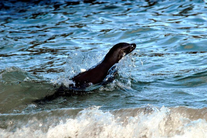 sea lion shooting through the sea off Floreana Island-Galapagos 12-17-2007