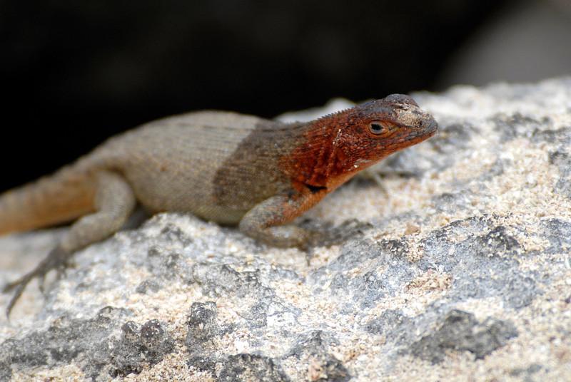 lava lizard-Punta Suarez-Espanola Island-Galapagos 12-16-2007