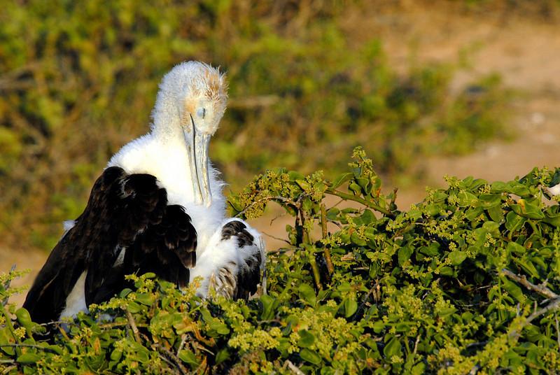 juvenile frigatebird takes a bow-N  Seymour Island-Galapagos 12-15-2007