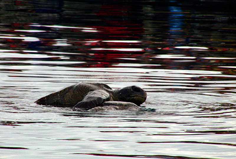 mating sea turtles - Galapagos Islands 12-17-2007