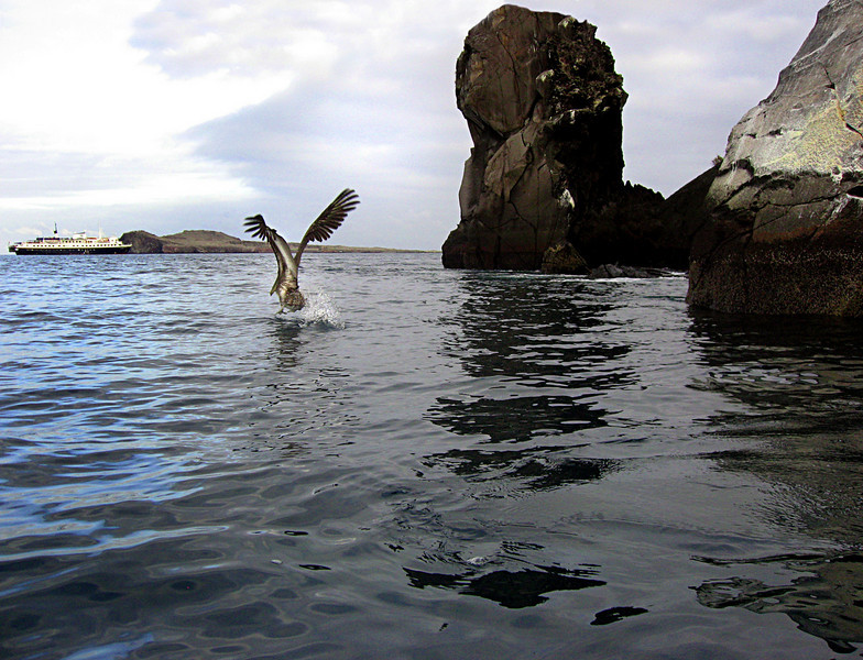 pelican taking flight from Gardner bay-Espanola Island-Galapagos 12-16-2007