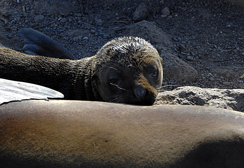 sea lion pup seeking supper-N  Seymour Island, Galapagos 12-15-2007