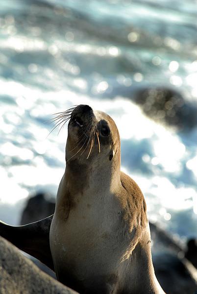 sea lion snout-N  Seymour Island-Galapagos 12-15-2007