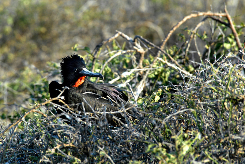 male frigatebird nesting in the brush on N  Seymour Island-Galapagos 12-15-2007