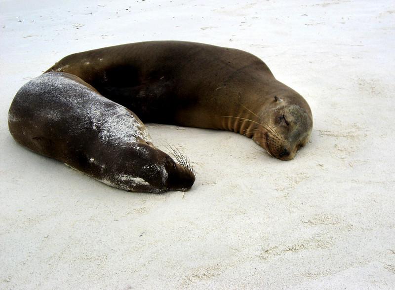 sea lion horseshoe-Gardner Bay, Espanola island-Galapagos 12-16-2007