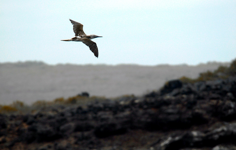 blue-footed booby in flight over Punta Suarez, Espanola Island 12-16-2007