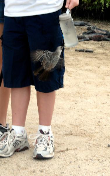 mockingbird seeking moisture-Punta Suarez-Espanola-Galapagos 12-16-2007