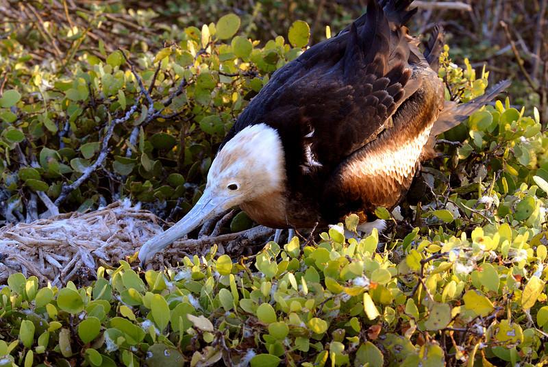 juvenile frigatebird examining nest-N  Seymour Island-Galapagos 12-15-2007