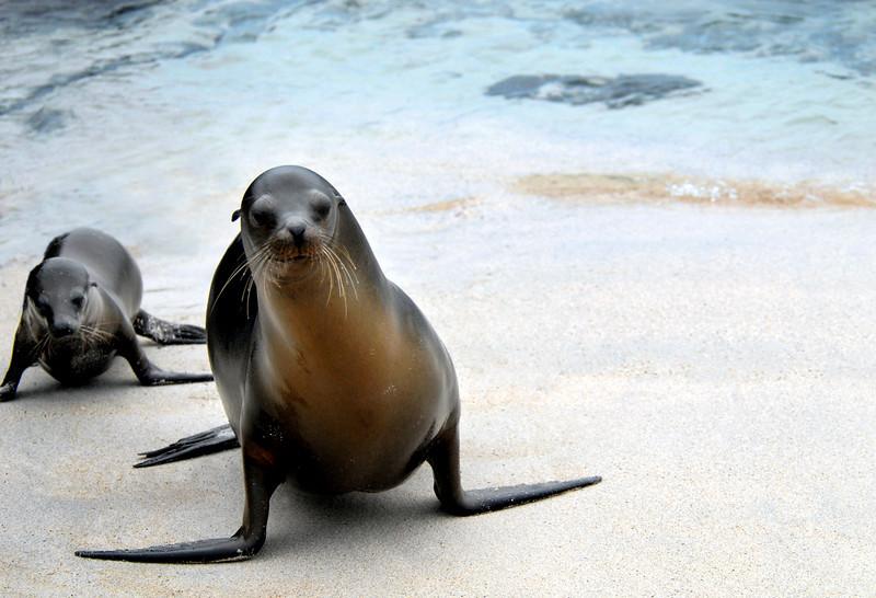 sea lion pup waddling after mom-Punta Suarez-Espanola Island 12-16-2007