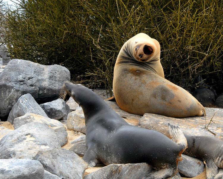 beachmaster bullying sea lion ladyfriend-Punta Suarez-Espanola-Galapagos 12-16-2007