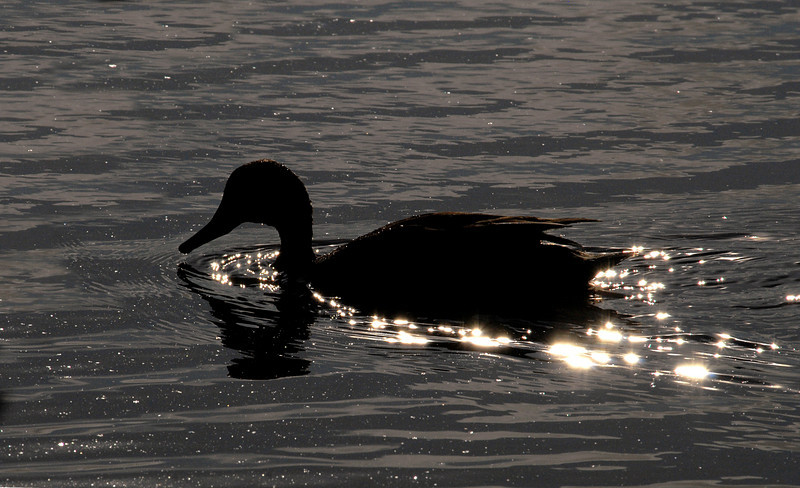 duck glittering through brackish lagoon-Punta Cormorant-Floreana Island-Galapagos 12-17-2007