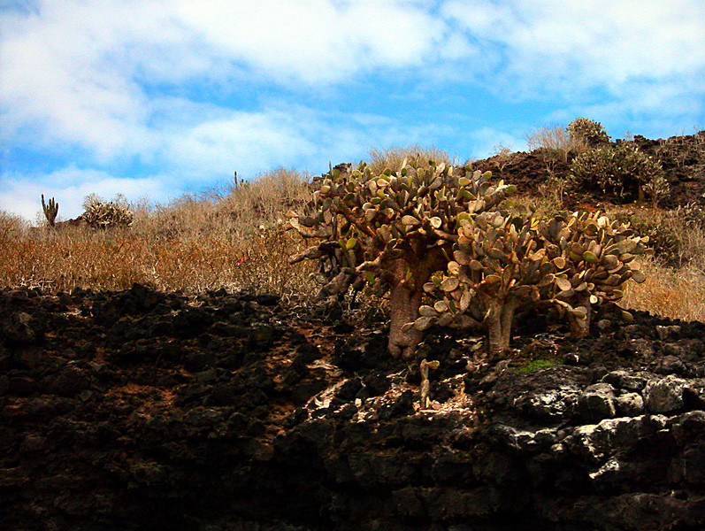 prickly pear cactus trees on lava ledge atop Champion Islet-Galapagos 12-17-2007