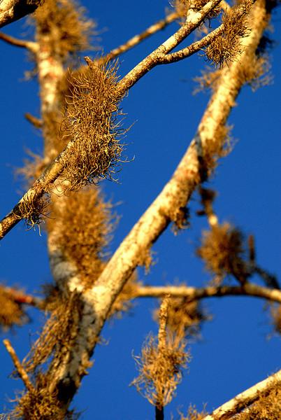 lichen-lined limbs-Punta Cormorant-Floreana 12-17-2007