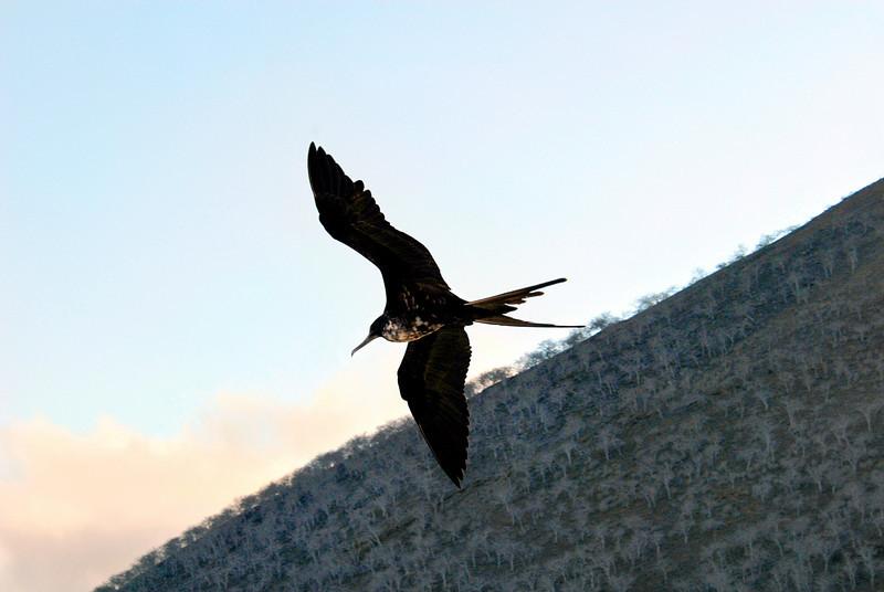 frigatebird in flight-Palo Santo tres on hillside-Punta Cormorant-Floreana 12-17-2007