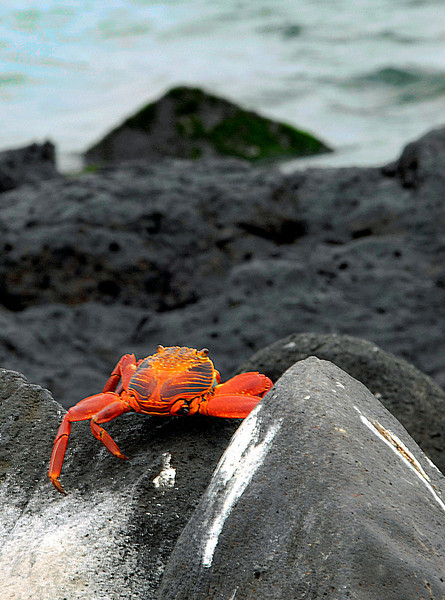 Sally Lightfoot crab gazing out to sea-Punta Suarez-Galapagos 12-16-2007