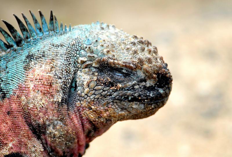 marine iguana close-up-Punta Suarez-Espanola Island-Galapagos 12-16-2007